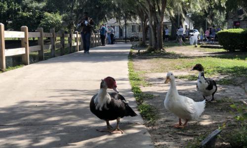 ducks at Lake Ella